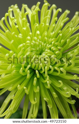 Green chrysanthemum flower - stock photo