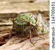 Green Cicada Resting on Tree Bark in narrow focus - stock photo