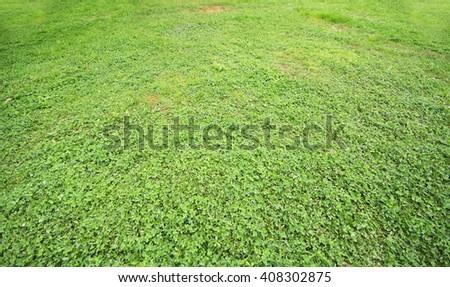 green clover grass land - stock photo