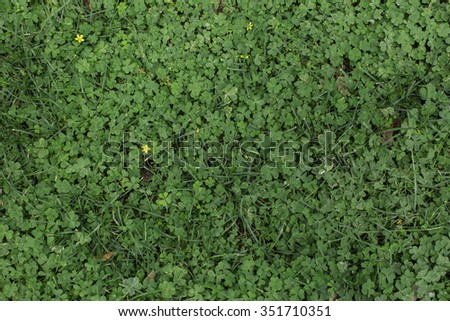 Green Clover Grass Patch Scenery Outdoors with Small Yellow Flowers - stock photo