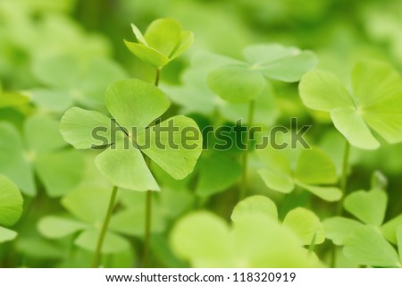 Green Clover leaf field background - stock photo
