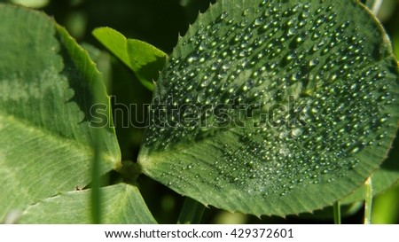 Green clover leaf with morning dew water drops for natural background