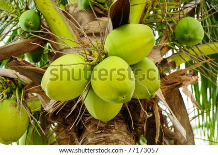 Green coconut at tree