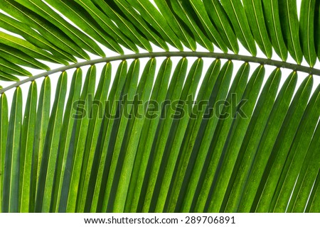 Green coconut leaf pattern - stock photo