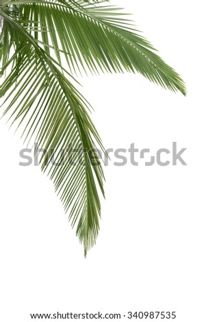 Green coconut leaves isolated on the white background - stock photo