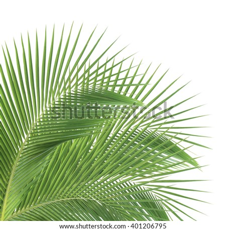 Green coconut leaves isolated on white background - stock photo