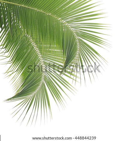 Green coconut leaves isolated on white background