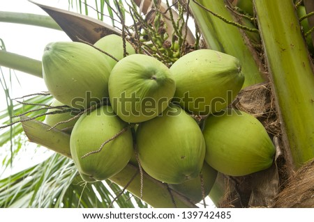 green coconut on the coconut tree - stock photo