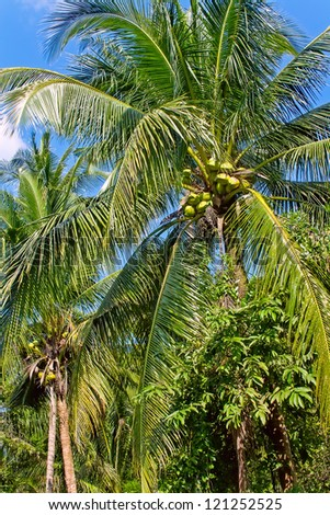 Green coconuts on the palm tree - stock photo