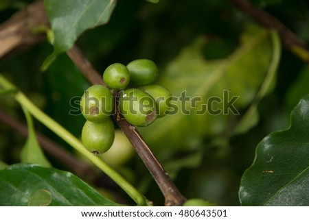 Green coffee beans growing on the branch