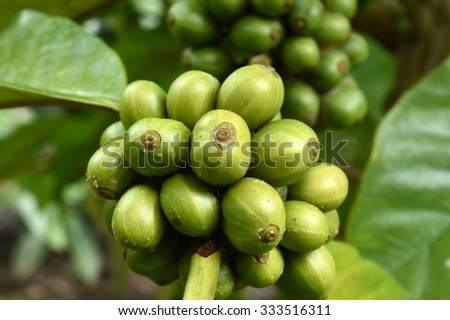 Green coffee beans on stem. - stock photo