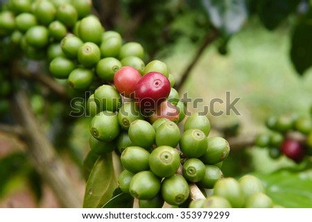 Green coffee beans on stem. - stock photo