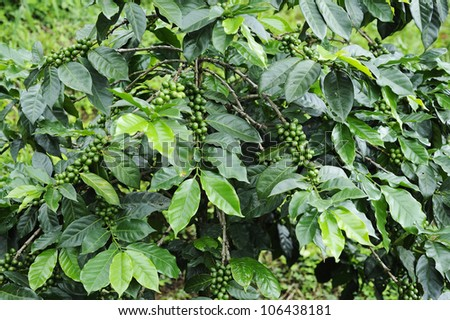 Green coffee - Coffee trees - stock photo