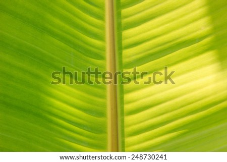 green color banana leaf texture background - stock photo