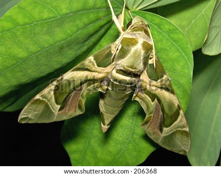 Green color giant moth - stock photo