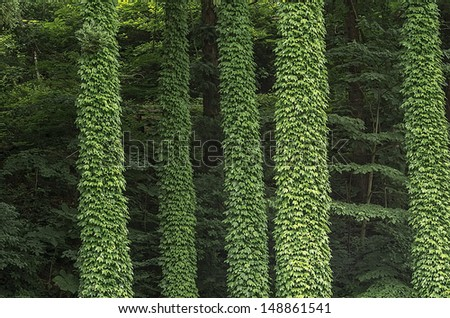 Green columns of Ivy leaves on the tall Japanese cedar trees - stock photo