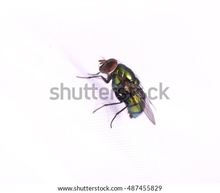 Green common fly isolated on white background