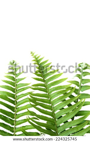 Green concept,Tuberous Sword Fern. Tropical leaves. Floral design background. - stock photo