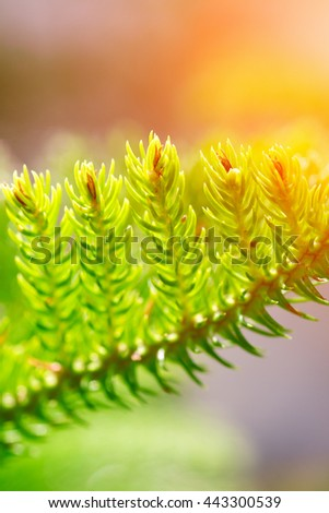 Green conifers branches background, sunny - stock photo