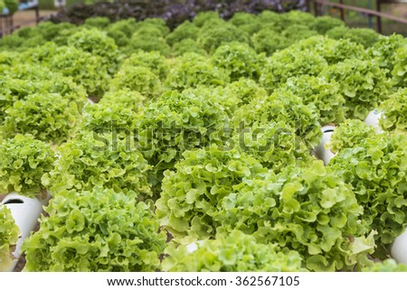 green coral vegetable,Organic hydroponic vegetable garden - stock photo