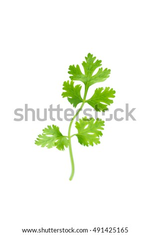 Green coriander isolation on a white background.