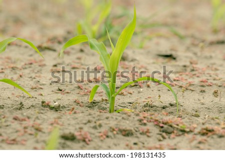 Green corn crops in cultivated soil - stock photo
