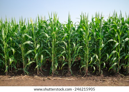 Green corn field. - stock photo