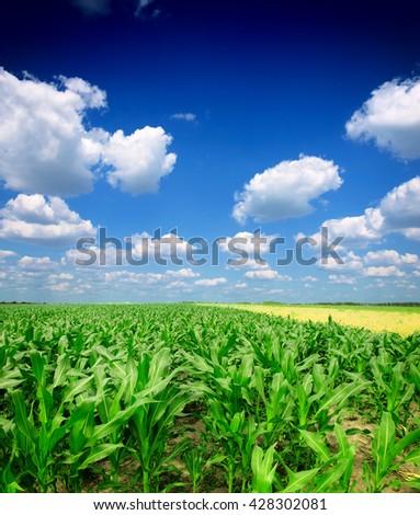 Green Corn Field - stock photo