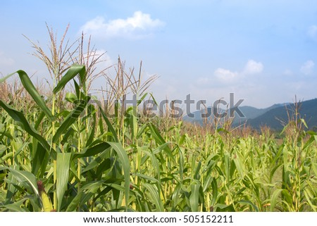 Green corn field.