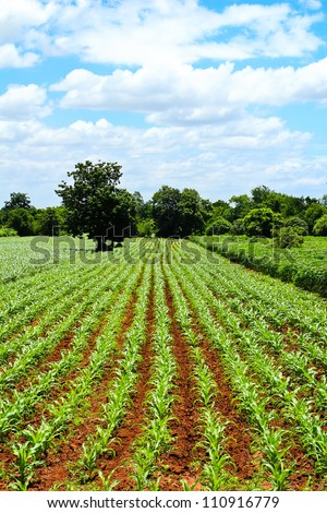 Green corn field and blue sky background on summer day. - stock photo