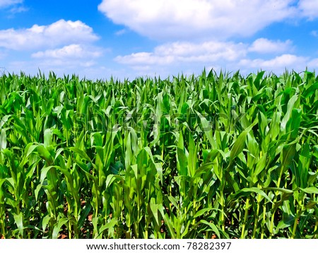 green corn field and blue sky with clouds - stock photo