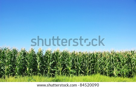 Green Corn field at Portugal - stock photo