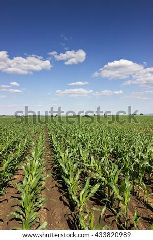 Green corn field,blue sky and sun on summer day. Green corn field, Young green corn in field, selective focus - stock photo