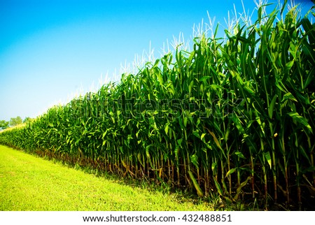 Green Corn Field Edge At An Angle With Blue Sky In Summer