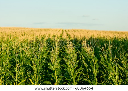 green corn field - fresh and clean vibrant colors - stock photo