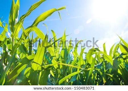 Green corn field growing up on blue sky - stock photo