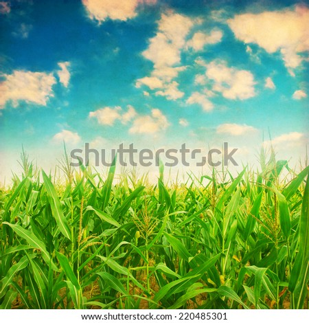 Green corn field in grunge and retro style. - stock photo