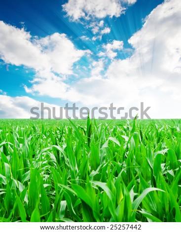 Green corn field under blue sky - stock photo