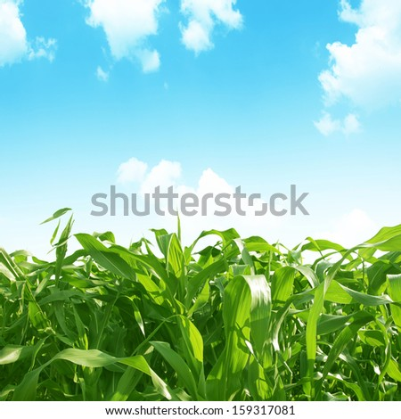 Green corn field under blue sky on summer day. - stock photo