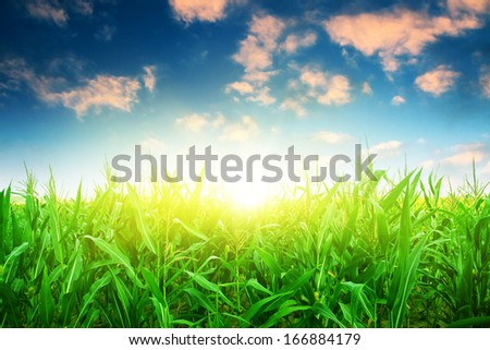 Green corn field under colorful sky with sun. - stock photo