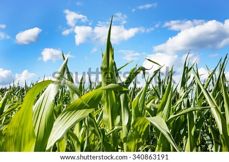 Green corn field with bright blue sky and natural clouds on it. Saturated, bright colors.       - stock photo