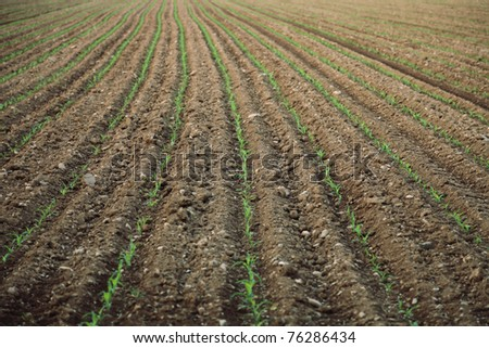 green corn germ on a field - stock photo