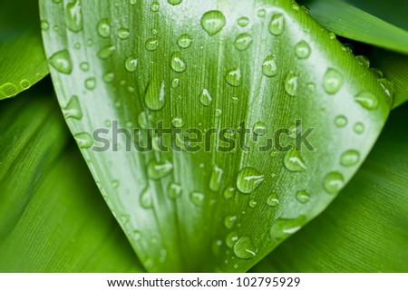 green corn leaves with raindrops - stock photo