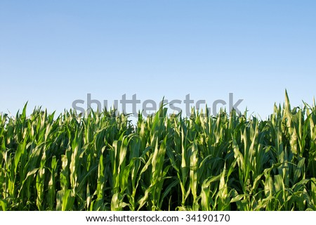 green cornfield against bright blue clear sky