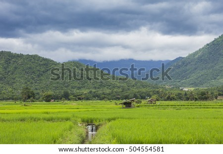 Green Cornfield Rice