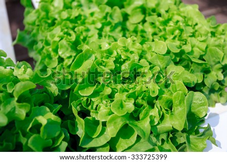 Green cos lettuce / Butter head  hydroponics vegetable farm in Thailand. - stock photo