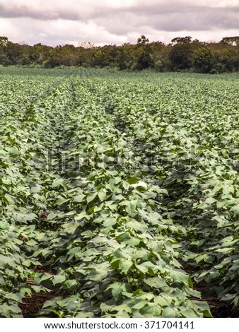 Green cotton field in Brazil with flowers
