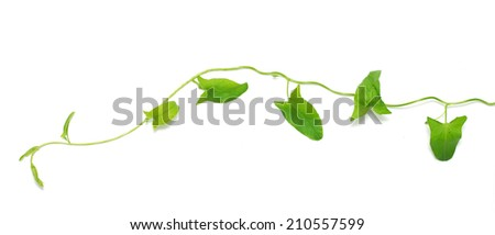 green creeper on a white background - stock photo