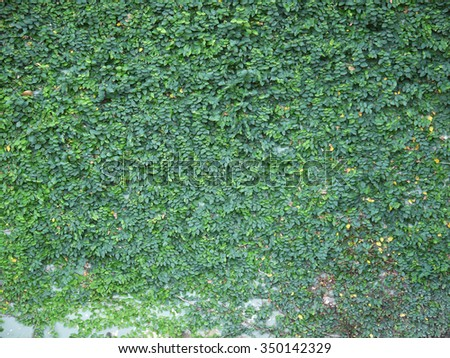 Green creeper on cement wall - stock photo
