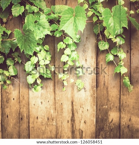 green creeper on weathered fence ; grunge nature background - stock photo